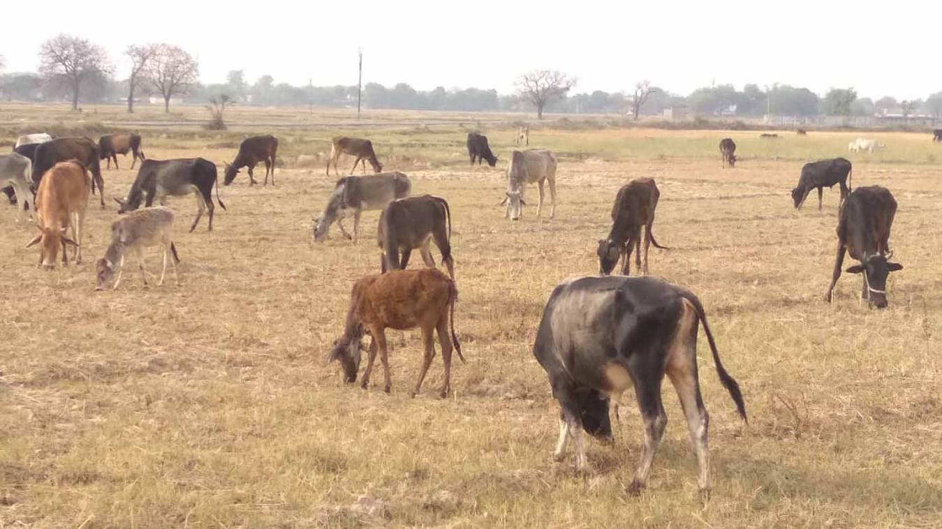वाराणसी:कागज में सीमित हैं गोवंश आश्रय की सुविधाएं, किसानों में मचा है हाहाकार