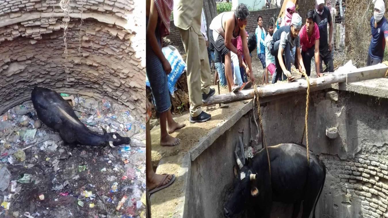 वाराणसी: चारे की तलाश में कुएं में गिरा सांड, काफी मशक्कत के बाद फायर कर्मियों ने निकाला