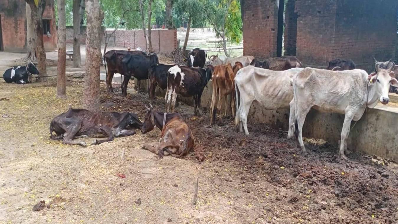 दुर्दशा: बनारस के अस्थाई गौवंश आश्रय केंद्र में कई दिनों से मरी पड़ी है गाय, अन्य गायों में पड़ चुके हैं कीड़े